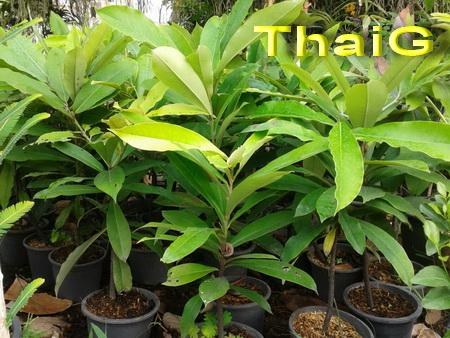 ต้นมะริด สวนThaiG